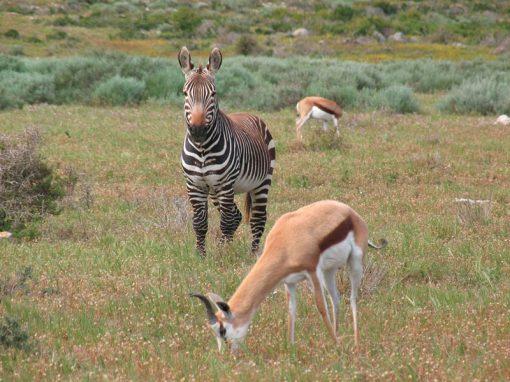 Namaqualand-flowers-animals