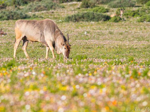 Namaqualand-flowers-eland