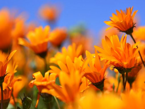 Namaqualand-flowers-lots