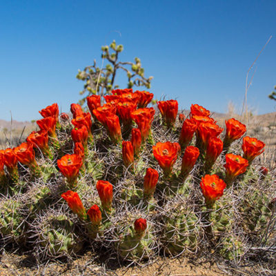 Namaqualand-flowers-red-bunch