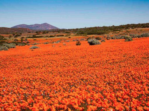 Namaqualand-flowers-red-orange