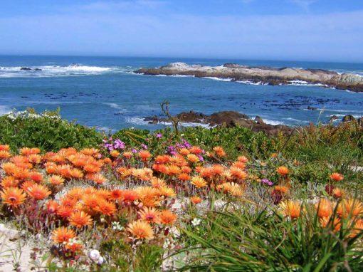 Namaqualand-flowers-sea-wild
