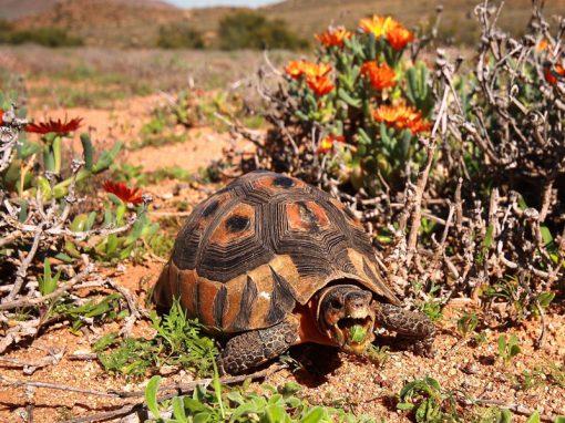 Namaqualand-flowers-tortoise