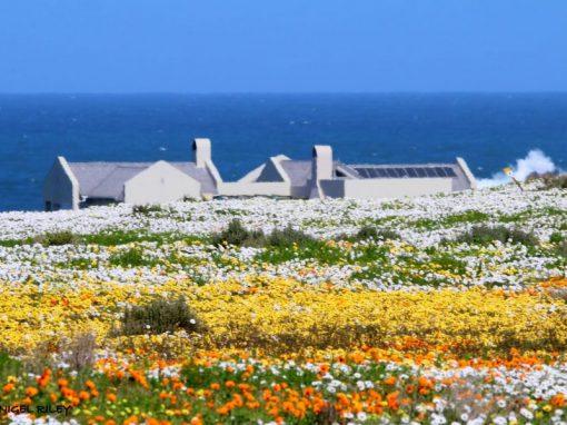 Namaqualand-flowers-wild-house-sea