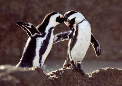 Penguins-cape-tour-tsiba