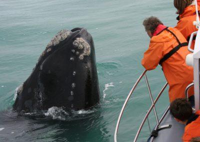 Whales-tour-cape-humpback-tsiba