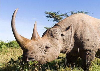 big-5-rhino