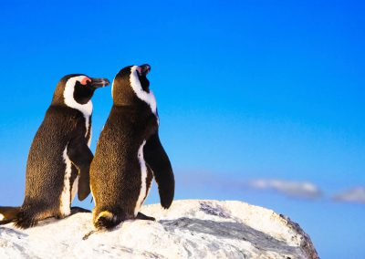 cape-town-penguins-bolder-tour