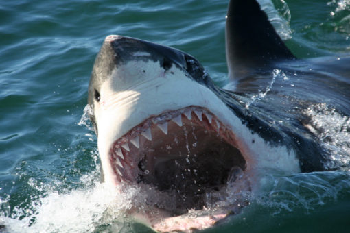 gansbaai-great-white-sharks-tour-experience