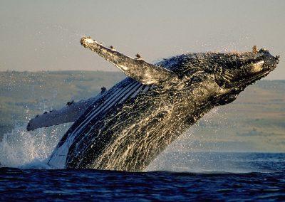 hermanus-whale-humpback