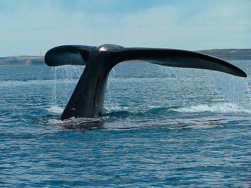 hermanus-whale-tale-tour