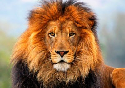 lion-big-5-wildlife