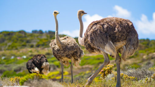 ostriches-cape-point-tour