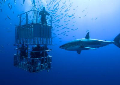 shark-cage-diving-great-white
