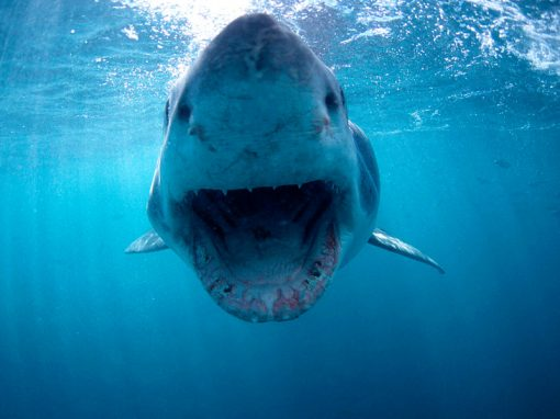 shark-cage-diving-great-white-mouth