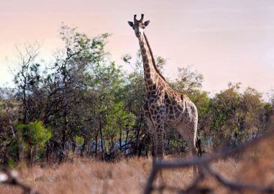 wildlifeandwine-giraffe