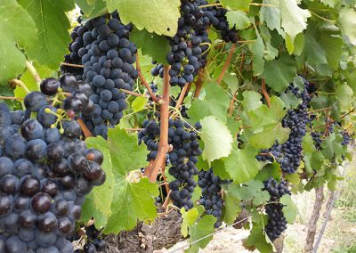 wine-grapes-vineyard