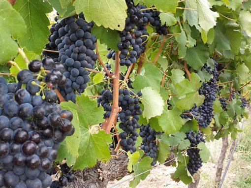 wine-grapes-vineyard